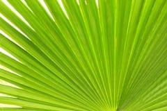 Κλείστε επάνω του γδυμένου φύλλου φοινικών ζάχαρης του πράσινου χρώματος ασβέστη με την ορατή δομή σύστασης Κατά της μόλυνσης ένν Στοκ Φωτογραφία