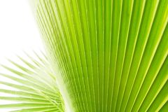 Κλείστε επάνω του γδυμένου φύλλου φοινικών ζάχαρης του πράσινου χρώματος ασβέστη με την ορατή δομή σύστασης Κατά της μόλυνσης ένν Στοκ φωτογραφία με δικαίωμα ελεύθερης χρήσης