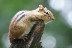 Κλείστε επάνω του γλυκού chipmunk, λαμπιρίζοντας πράσινο υπόβαθρο Στοκ Εικόνες