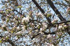 Κλείστε επάνω του δέντρου δαμάσκηνων με το τα ρόδινα λουλούδια ` s Στοκ Φωτογραφία