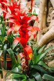 Κλείστε επάνω του ενιαίου κόκκινου ligulata Guzmania bromeliads στο λουλούδι Στοκ Φωτογραφίες