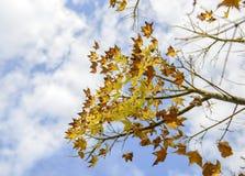 Κλείστε επάνω του ζωηρόχρωμου distichum Taxodium δέντρων κυπαρισσιών φθινοπώρου φαλακρού Στοκ Φωτογραφία