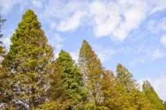 Κλείστε επάνω του ζωηρόχρωμου distichum Taxodium δέντρων κυπαρισσιών φθινοπώρου φαλακρού Στοκ φωτογραφία με δικαίωμα ελεύθερης χρήσης