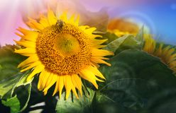 Κλείστε επάνω του ηλίανθου και της μέλισσας Θερινή ανασκόπηση στοκ εικόνες με δικαίωμα ελεύθερης χρήσης