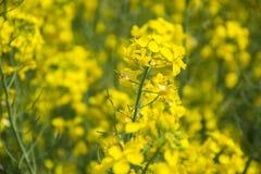 Κλείστε επάνω του κίτρινου βιασμού ελαιοσπόρων τομέων ανθίζοντας στο napus κραμβολαχάνου άνοιξης, canola άνθισης, φωτεινό τοπίο φ Στοκ Εικόνες