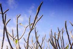 Κλείστε επάνω του κλάδου plumeria frangipani Στοκ φωτογραφία με δικαίωμα ελεύθερης χρήσης