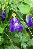 Κλείστε επάνω του λουλουδιού μπιζελιών πεταλούδων Στοκ εικόνες με δικαίωμα ελεύθερης χρήσης
