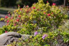 Κλείστε επάνω του μικρού πορφυρού λουλουδιού στο θάμνο στον κήπο στοκ φωτογραφία με δικαίωμα ελεύθερης χρήσης