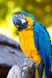 Κλείστε επάνω του μπλε και χρυσού παπαγάλου Macaw σκαρφαλωμένου υπαίθριου στον κορμό δέντρων με τις αλυσίδες που τυλίγονται γύρω  στοκ εικόνες