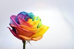 Κλείστε επάνω του ουράνιου τόξου αυξήθηκε λουλούδι Στοκ εικόνα με δικαίωμα ελεύθερης χρήσης