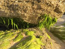 Κλείστε επάνω του πράσινου βρύου αλγών στους βράχους Coquina Στοκ εικόνες με δικαίωμα ελεύθερης χρήσης
