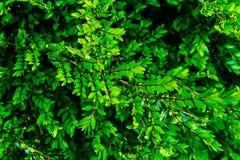 Κλείστε επάνω του πράσινου θάμνου στον πρόωρο χρόνο άνοιξη στοκ εικόνες