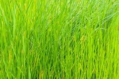 Κλείστε επάνω του πράσινου τομέα παπύρων Cyperus Στοκ εικόνες με δικαίωμα ελεύθερης χρήσης
