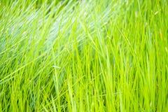 Κλείστε επάνω του πράσινου τομέα παπύρων Cyperus Στοκ Φωτογραφία