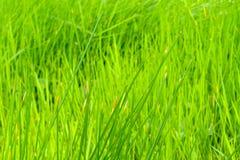 Κλείστε επάνω του πράσινου τομέα παπύρων Cyperus Στοκ Εικόνες
