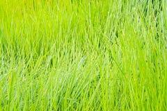 Κλείστε επάνω του πράσινου τομέα παπύρων Cyperus Στοκ εικόνα με δικαίωμα ελεύθερης χρήσης