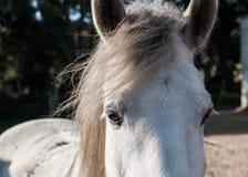 Κλείστε επάνω του προσώπου ενός άσπρου αλόγου στοκ φωτογραφία