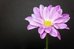 Κλείστε επάνω του ρόδινου λουλουδιού στη δεξιά πλευρά Στοκ φωτογραφία με δικαίωμα ελεύθερης χρήσης