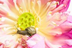 Κλείστε επάνω του σαλιγκαριού στα λουλούδια λωτού Στοκ Εικόνες