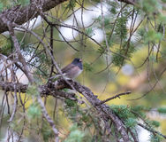 Κλείστε επάνω του σκοτεινού eyed junco στο δέντρο πεύκων Στοκ Εικόνες