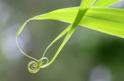 Κλείστε επάνω του σπειροειδούς πράσινου φύλλου στοκ φωτογραφίες