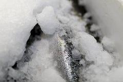 Κλείστε επάνω του φρέσκου δέρματος και των κλιμάκων ψαριών σολομών που παρουσιάζουν μέσω του ολοκληρωμένου κυκλώματος Στοκ φωτογραφία με δικαίωμα ελεύθερης χρήσης