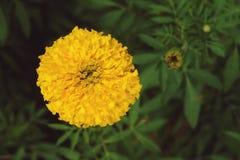 Κλείστε επάνω του χρυσού κίτρινου marigold Tagetes λουλουδιού Στοκ Φωτογραφίες