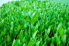 Κλείστε επάνω του buxus φύλλων Κινηματογράφηση σε πρώτο πλάνο φύλλων Buxus Πράσινο buxus Φρέσκο νέο buxus στοκ φωτογραφίες