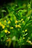 Κλείστε επάνω του choy λαχανικού λουλουδιών ποσού bok στον κήπο, φρέσκο όργανο Στοκ Εικόνες