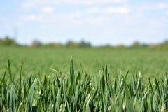 Κλείστε επάνω του grainfield με την παχιά χλόη χωρίς αυτί την πρώιμη άνοιξη με το μπλε ουρανό στοκ εικόνες