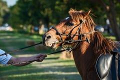 Κλείστε επάνω το άλογο κάστανων Στοκ φωτογραφία με δικαίωμα ελεύθερης χρήσης