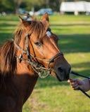 Κλείστε επάνω το άλογο κάστανων Στοκ Εικόνες