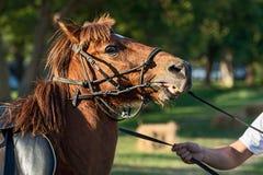 Κλείστε επάνω το άλογο κάστανων Στοκ Φωτογραφία