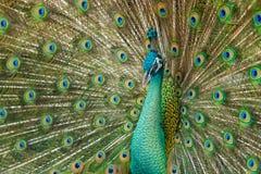 Κλείστε επάνω το αρσενικό peacock με τα πλήρως ξετυλιγμένα φτερά της ουράς του στοκ φωτογραφία με δικαίωμα ελεύθερης χρήσης