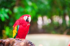 Κλείστε επάνω το ζωηρόχρωμο φωτεινό κόκκινο παπαγάλο Ara στο τροπικό νησί Στοκ εικόνες με δικαίωμα ελεύθερης χρήσης