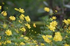 Κλείστε επάνω το κίτρινο λουλούδι κόσμου στοκ εικόνες