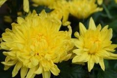 Κλείστε επάνω το κίτρινο λουλούδι στον κήπο Στοκ εικόνες με δικαίωμα ελεύθερης χρήσης