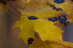 Κλείστε επάνω το κίτρινο φύλλο σφενδάμου από το ζωύφιο ή τον ιό στον κήπο, την ασθένεια εγκαταστάσεων και Aphids, cicadas Προσβολ Στοκ φωτογραφίες με δικαίωμα ελεύθερης χρήσης