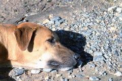 Κλείστε επάνω το κεφάλι σκυλιών ενυδατώνει επάνω τον ήλιο, το καφετί σκυλί κοιμάται να βρεθεί, ταϊλανδικό σκυλί καφετής Ασιάτης R στοκ φωτογραφία