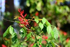 Κλείστε επάνω το κινεζικό firecrackers λουλούδι στον κήπο στοκ φωτογραφίες