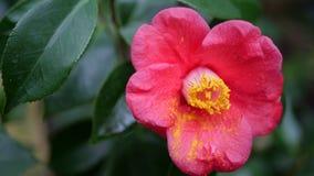 Κλείστε επάνω το κόκκινο με το κίτρινο λουλούδι Στοκ Φωτογραφία