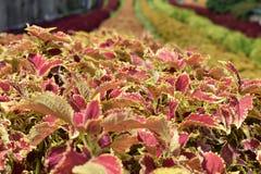 Κλείστε επάνω το λουλούδι ουράνιων τόξων φύλλων Στοκ εικόνες με δικαίωμα ελεύθερης χρήσης