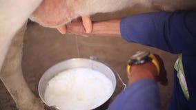 Κλείστε επάνω το μήκος σε πόδηα του αρμέγματος της αγελάδας με το χέρι σε έναν κάδο σε ένα αγρόκτημα βοοειδών στη Νότια Αφρική φιλμ μικρού μήκους