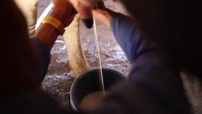 Κλείστε επάνω το μήκος σε πόδηα του αρμέγματος της αγελάδας με το χέρι σε έναν κάδο σε ένα αγρόκτημα βοοειδών στη Νότια Αφρική απόθεμα βίντεο