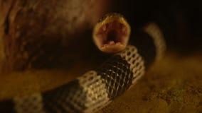 Κλείστε επάνω το μπλε ανοικτό στόμα candidus Bungarus φιδιών Krait απόθεμα βίντεο