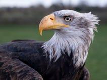 Κλείστε επάνω το πορτρέτο ενός φαλακρού αετού, που φωτογραφίζεται στο αγγλικό σχολείο της εκτροφής γερακί, πράσινο αγρόκτημα ρεγγ στοκ φωτογραφία