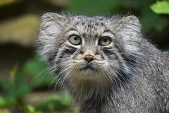 Κλείστε επάνω το πορτρέτο της γάτας του Παλλάς manul Στοκ Εικόνες