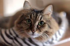 Κλείστε επάνω το πορτρέτο της μακρυμάλλους σιβηρικής γάτας του tebby χρώματος Το υπόβαθρο θαμπάδων, στο εσωτερικό, εντυπωσιακή γά στοκ εικόνα