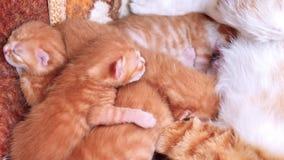 Κλείστε επάνω το πορτρέτο της νεογέννητης τιγρέ γάτας μωρών που βρίσκεται στη φωλιά του με τη μητέρα και τους αδελφούς της, προσο φιλμ μικρού μήκους