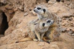 Κλείστε επάνω το πορτρέτο της οικογένειας meerkat που κοιτάζει μακριά Στοκ εικόνα με δικαίωμα ελεύθερης χρήσης